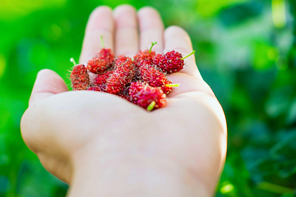 Mulberries - Great Benefits